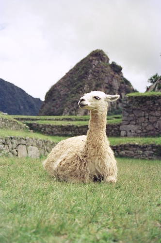 Llama in the ruins