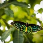 Return of the Birdwings